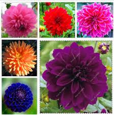 100 <b>Pcs</b> / <b>Bag Imported Dahlia</b> Flower Bonsai Rare Two Color   eBay
