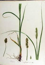 File:Carex vulpina — Flora Batava — Volume v13.jpg - Wikimedia ...