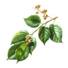 نبات الدردار وفوائده images?q=tbn:ANd9GcR