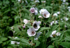 Althaea officinalis Marsh Mallow, Common marshmallow PFAF Plant ...