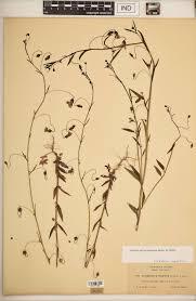 Linaria peloponnesiaca - SEINet Portal Network