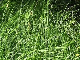 Carex brizoides - Wikispecies