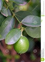 lemon tree x: lemon tree with fruit lemon tree fruit persian lime citrus x latifolia rutaceae hybrid one citrus more commercialized brazil local