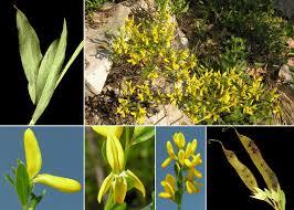 Genista januensis Viv. subsp. januensis - Flora urbana della città di ...