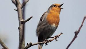 Image result for birds that sing