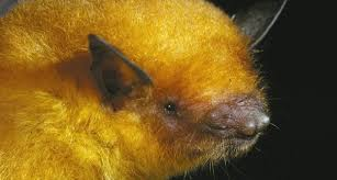 <b>Golden Bat</b> Revealed as New Species