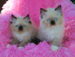 kittensavail mama seal mitted ragdolls tweety sweety