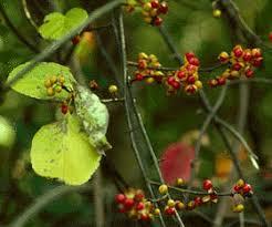 Celastraceae - Wikipedia