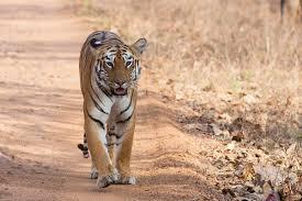 <b>Tiger</b> - Wikipedia