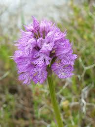 Neotinea tridentata - Wikipedia