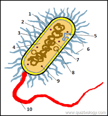 multiple choice quiz on bacterial cell   biology multiple choice    bacterial cell