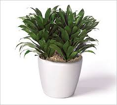 dracaena office plant best office plant no sunlight