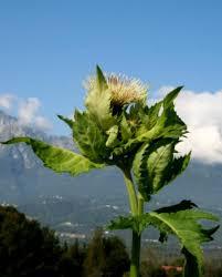 Cirsium oleraceum - Wikipedia