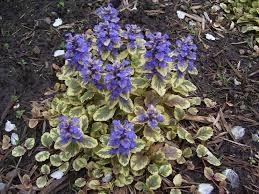 Image result for Ajuga Plants