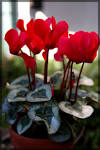Images & Illustrations of cyclamen