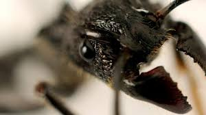 Earth - The world's most painful insect sting - BBC