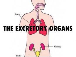 organs that are present in the excretory system of human essay