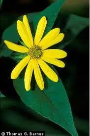 Plants Profile for Helianthus decapetalus (thinleaf sunflower)