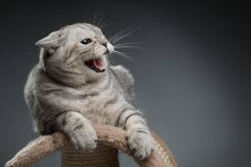 Image result for cat hissing picture