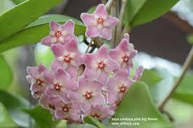Hoya carnosa <b>pink big flower</b>