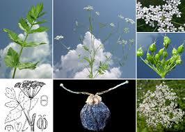Pimpinella major (L.) Huds. - Sistema informativo sulla flora delle ...