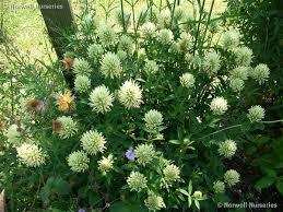 Trifolium pannonicum