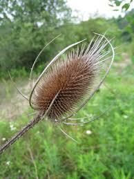 Dipsacus fullonum - Michigan Flora