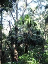 Livistona australis - Wikipedia