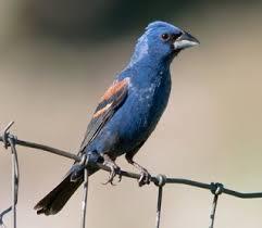 <b>BLUE BIRDS</b> - birds of colorado