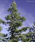 Images & Illustrations of amabilis fir
