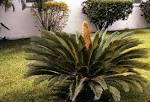 cycadaceae