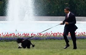 photo essay president barack obama us opinion and commentary president obama walks bo his 6 month old portuguese water dog on the south lawn at the white house in this 2009 file photo 2009