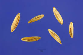 Plants Profile for Poa compressa (Canada bluegrass)