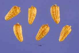 Plants Profile for Anthemis cotula (stinking chamomile)