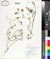 SEINet Portal Network - Trifolium michelianum