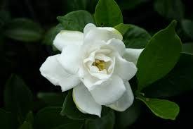 Risultati immagini per gardenia