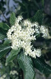 Sorbus aria 'Lutescens' | whitebeam 'Lutescens'/RHS Gardening