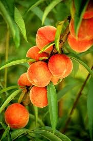 Image result for peach tree
