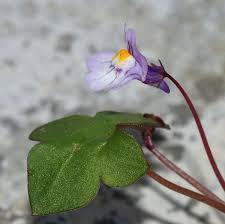 Cymbalaria - Wikipedia
