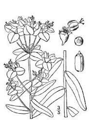 Plants Profile for Euphorbia lucida (shining spurge)