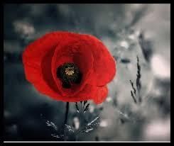 """Résultat de recherche d'images pour """"fleur rouge et noir"""""""