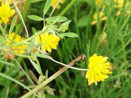 Trifolium patens - Wikispecies