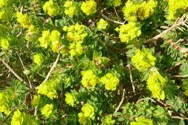 Euphorbia melitensis — Wikipédia