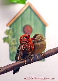 طـائر الفراولة فينش طائر الفراولة images?q=tbn:ANd9GcR