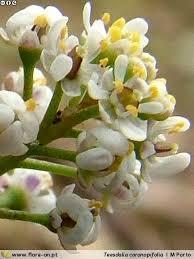 Teesdalia coronopifolia | Flora-On