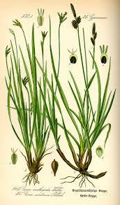 Heide-Segge – Wikipedia
