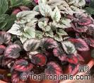 painted-leaf begonia