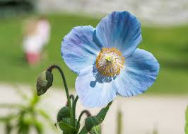 7 plants with true <b>blue flowers</b> - The English Garden