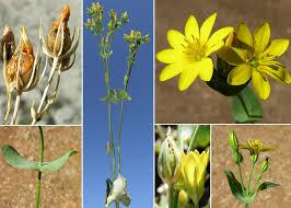 Blackstonia perfoliata (L.) Huds. subsp. perfoliata - Sistema ...