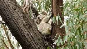 rare sighting of koala bega district news up a tree the koala was spotted again by david gallan in a stringybark several